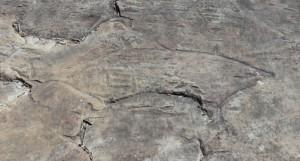 Mangrove Road North - an engraving of a bull shark