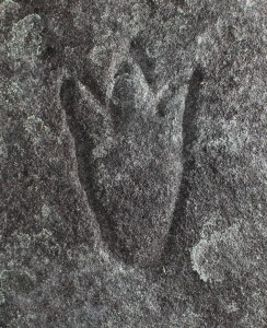 Mangrove Road South - an engraving of a three toe mundoe